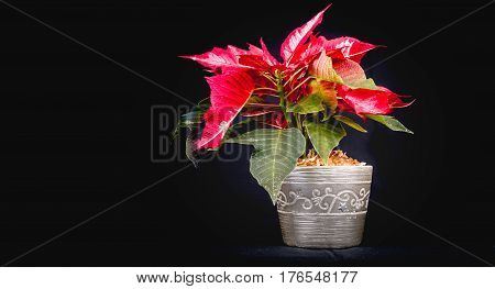 Christmas Eve Flower or Poinsettia on black background stock photo