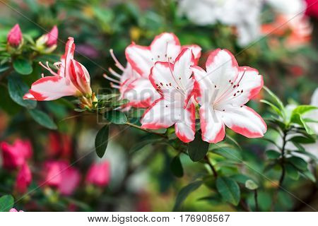 Beautiful pink rhododendron tree blossoms in springtime. Azalea in greenhouse. Closeup Pink Desert Rose flower soft focus. Concept image for interior design. Urban gardening. stock photo