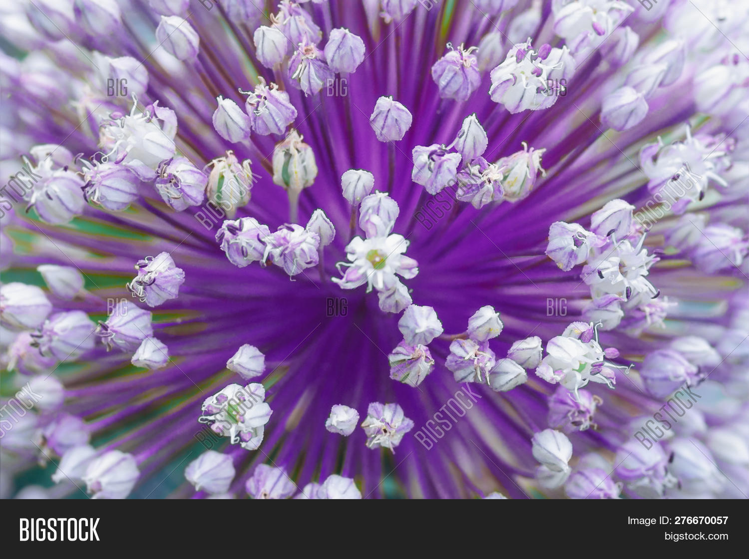 allium,art,background,ball,beautiful,beauty,bee,big,bloom,blooming,blossom,bud,christophii,close-up,closeup,colorful,decorative,edible,environment,flora,floral,flower,food,fresh,garden,garlic,giant,green,head,horizontal,macro,natural,nature,onion,organic,outdoor,park,photo,photography,pink,plant,product,purple,seed,spice,spring,stalk,summer,violet