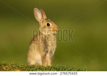 Close-up of a juvenile European Rabbit (Oryctolagus cuniculus) sitting in the meadow, UK. stock photo
