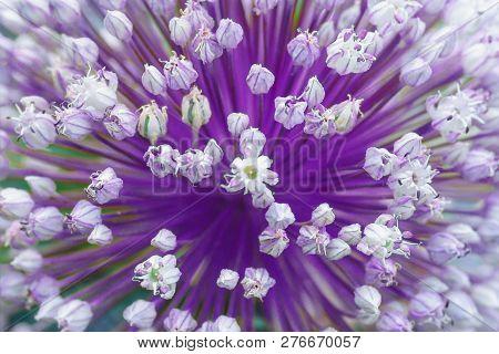 Decorative flowering edible onion in the garden. Allium schoenoprasum. stock photo