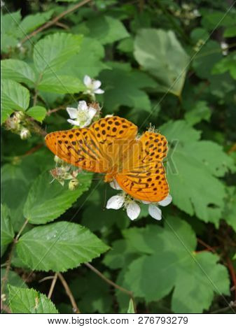 Fritillary butterfly on a blossoms blackberry  bush in forest stock photo