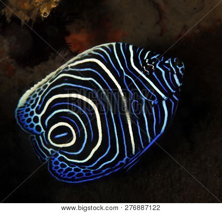 Juvenile Emperor Angelfish (Pomacanthus imperator). Tofo, Mozambique stock photo