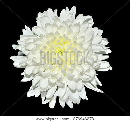 Single white chrysanthemum flower with yellow middle close up, isolated on a black background. Beautiful elegant flowerhead with delicate petals stock photo
