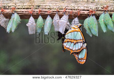 Rows of butterfly cocoons and newly hatched butterfly. ** Note: Shallow depth of field stock photo