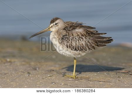 Short-billed Dowitcher Limnodromus griscus standing on one leg on tan beach and blue water stock photo