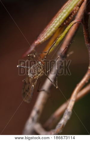 Mosquito with red faceted eyes sitting on a branch macro stock photo