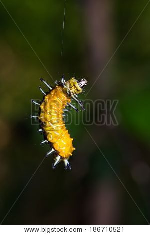 Close up of Callizygaena ada (Zygaenidae) caterpillar abseiling down from the tree in nature stock photo