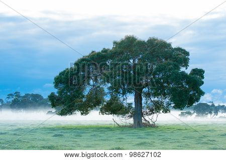 Lone redgum tree (Corymbia calophylla) in farm paddock with fog in background under dark cloudy sky stock photo