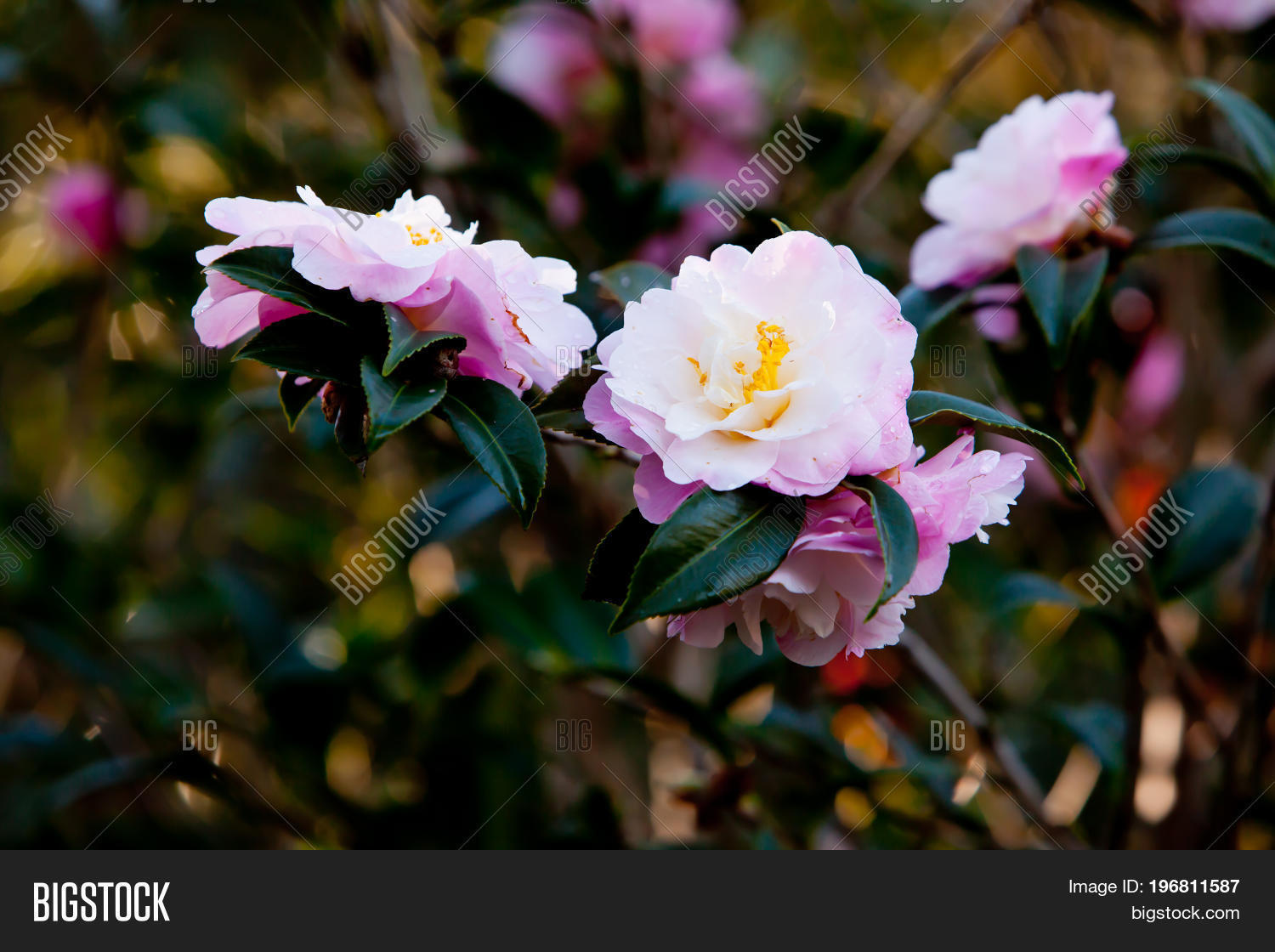 beautiful delicate pink flowers of the theaceae camellia x attribute mightylinksfo