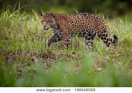 American jaguar in the nature habitat, panthera onca, wild brasil, brasilian wildlife, pantanal, green jungle, big cats stock photo
