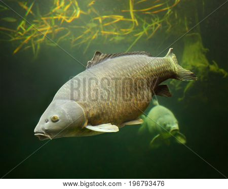 The Common Carp - Cyprinus carpio. Underwater photography from fish pond. In Central Europe ( Poland and Czech Republic ), fish is a traditional part of a Christmas Eve dinner.  stock photo