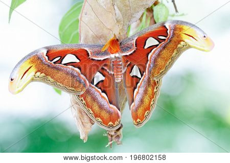 A new adult Atlas moth emerge from the cocoon. Atlas moth (Attacus atlas) is the world largest moths found in the tropical and subtropical forests of Southeast Asia stock photo