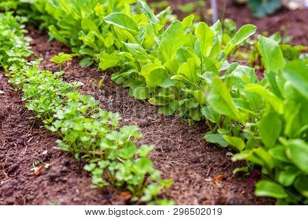 Agricultural field with green leaf lettuce salad and parsley on garden bed in vegetable field. Gardening background with green lettuce plants. Organic health food vegan vegetarian diet concept stock photo