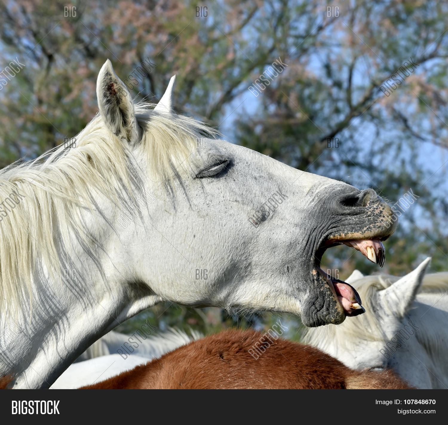 Funny Portrait Of A Laughing Horse 107848670 Image Stock Photo