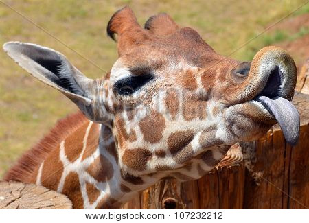 The giraffe is an African even-toed ungulate mammal, the tallest living terrestrial animal and the largest ruminant. Its species name refers to its camel-like appearance and the patches of color fur stock photo