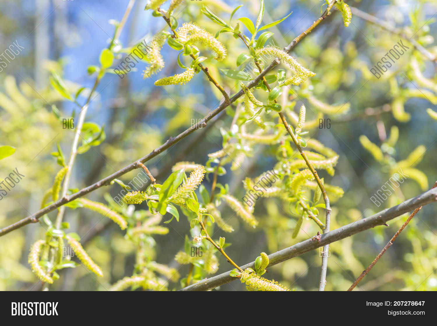 Collect,Risen,alba,ament,argiolus,background,beautiful,blooming,blossom,branch,bright,buds,bush,catkin,closeup,easter,flora,floral,flower,fresh,green,growth,holiday,inflorescence,leaf,leaves,natural,nature,plant,pollen,salix,season,spring,springtime,traditional,tree,twig,willow,yellow