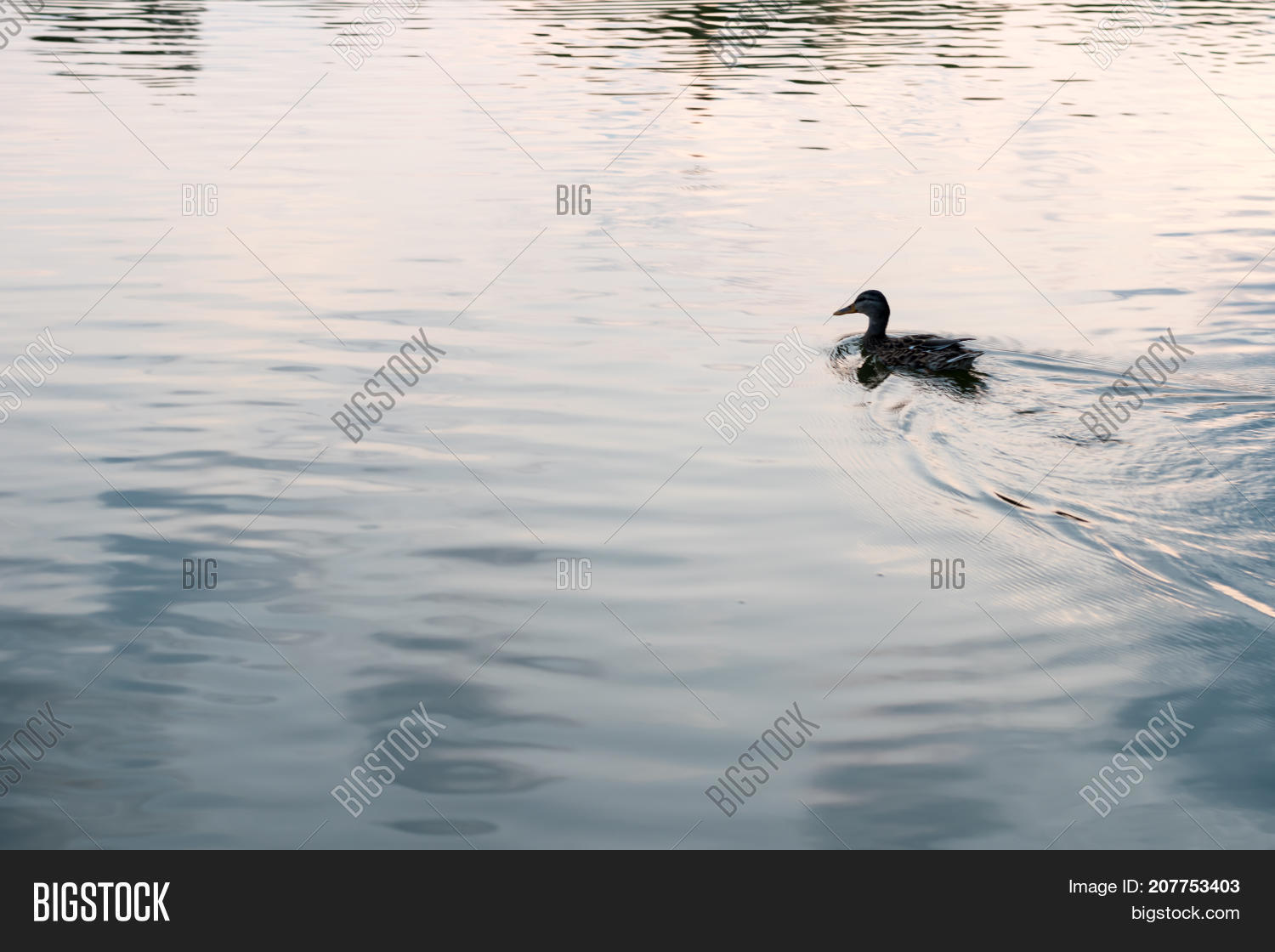 Duck swimming on water. Silhouette. Reflections on water surface.