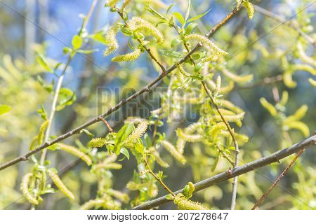 Risen blooming inflorescences female flowering catkin or ament on a Salix alba white willow in early spring before the leaves. Collect pollen from flowers and buds. stock photo