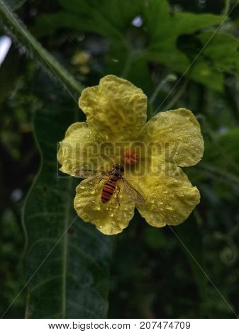 Honeybee collecting nectar from male flower of bitter gourd helping for pollination stock photo