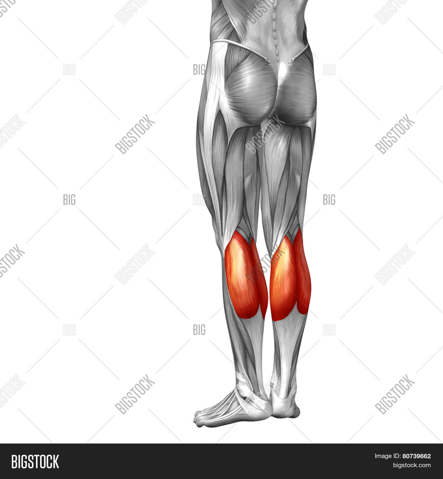 Concept Or Conceptual 3d Gastrocnemius Human Lower Leg Anatomy Or