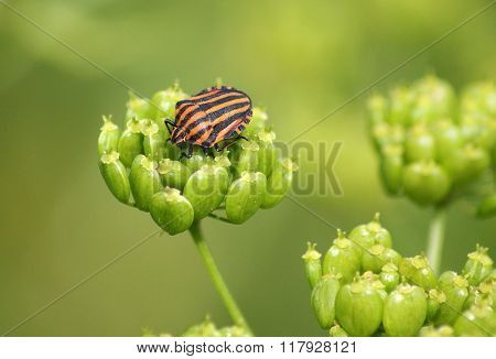 Black orange striped bug graphosoma lineatum on the plant