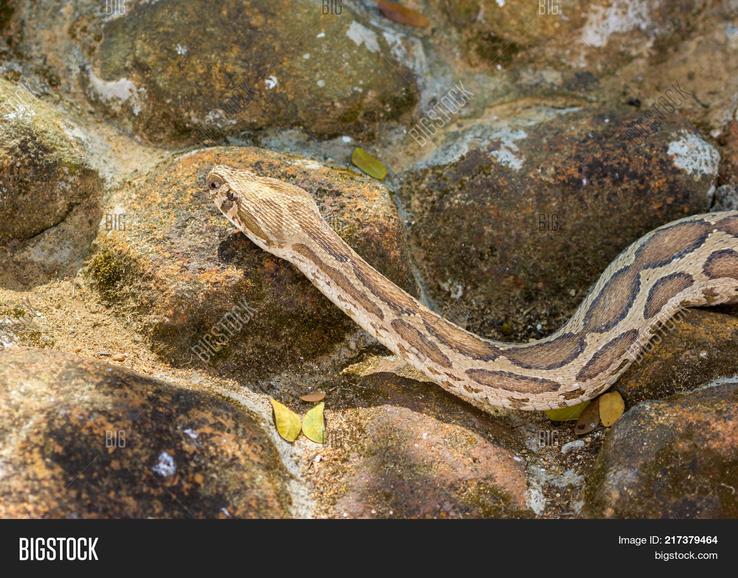 adder,animals,asia,asian,brown,carnivores,cold,cold-blooded,culture,danger,dangerous,deadly,hemotoxic,hunters,hunting,india,indian,nadu,poison,poisonous,predators,reptile,reptillian,russelii,russell,scaled,snake,south,tamil,unsafe,venemous,venom,venomous,vicious,viper