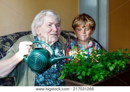 Active little preschool kid boy and grand grandmother watering parsley plants with water can at home. little child helping grandparents to grow herbs. Happy family: grandchild and senior woman stock photo
