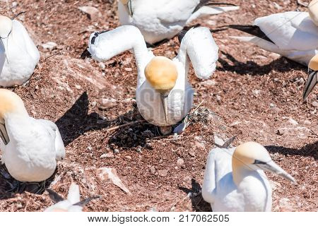 Closeup of white Gannet bird colony nesting on cliff on Bonaventure Island in Perce Quebec Canada by Gaspesie Gaspe region with two morus looking up long necks stock photo