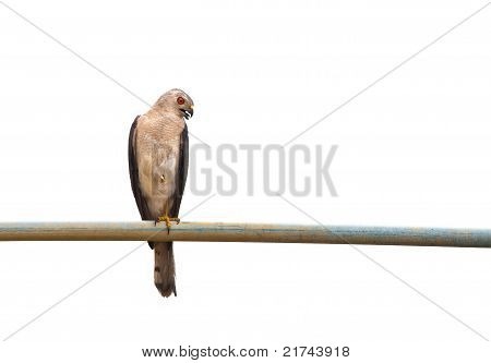 Banded Goshawk also known as Shikra perched on a pipe isolated over white. stock photo