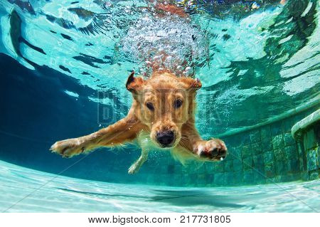 Underwater funny photo of golden labrador retriever puppy in swimming pool play with fun - jumping diving deep down. Actions training games with family pets and popular dog breeds on summer vacation