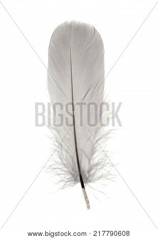 Single delicate fluffy grey birds feather isolated on a white background stock photo