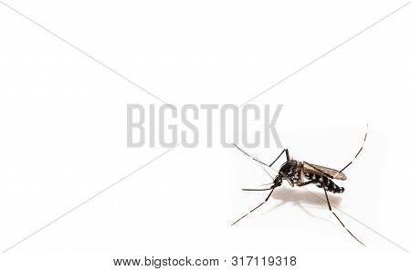 Aedes albopictus mosquito sucking blood on skin,Macro close up isolate on white background stock photo