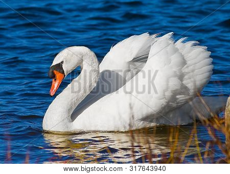 Beautiful pure white swan gracefully swims on Lake with out of focus reeds and grass in foreground. stock photo
