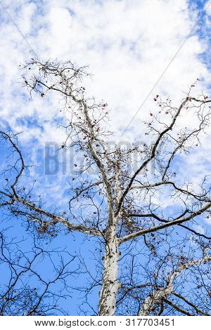 Platanus tree leafless December branches against blue cloudy sky in Sofia, Bulgaria, low-angle view stock photo