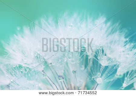 Tender White Dandelion seed with water drops  - soft and light background stock photo