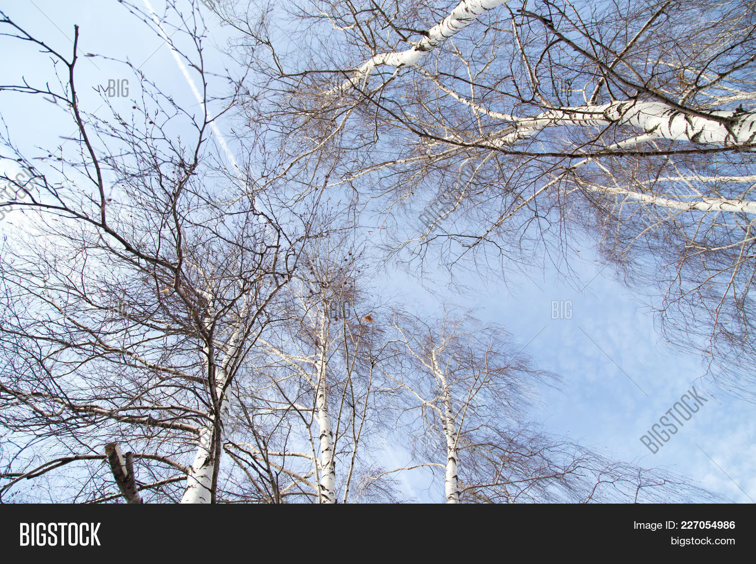 against,bare,bark,beauty,big,birch,blue,branch,bright,brown,clouds,flora,forest,frame,height,high,landscape,log,lumber,natural,nature,outdoor,outside,photography,plant,scene,scenery,scenic,season,silver,sky,spring,summer,sun,sunshine,tall,texture,thin,timber,tranquil,tree,treetops,twigs,vegetation,white,winter,wood