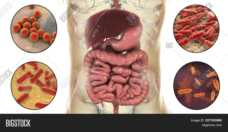 3d,Bifidobacterium,Enterococcus,Lactobacillus,abdomen,anatomical,anatomy,bacteria,bacterium,body,bowel,coli,colon,digestion,digestive,disease,enteric,enterobacteriaceae,escherichia,flagella,flora,gram-negative,gut,health,healthy,human,ileum,illustration,inflammation,inner,internal,intestine,isolated,jejunum,medical,medicine,microbiome,microflora,normal,organ,pathology,probiotic,realistic,rod,science,small,stomach,streptococci,system