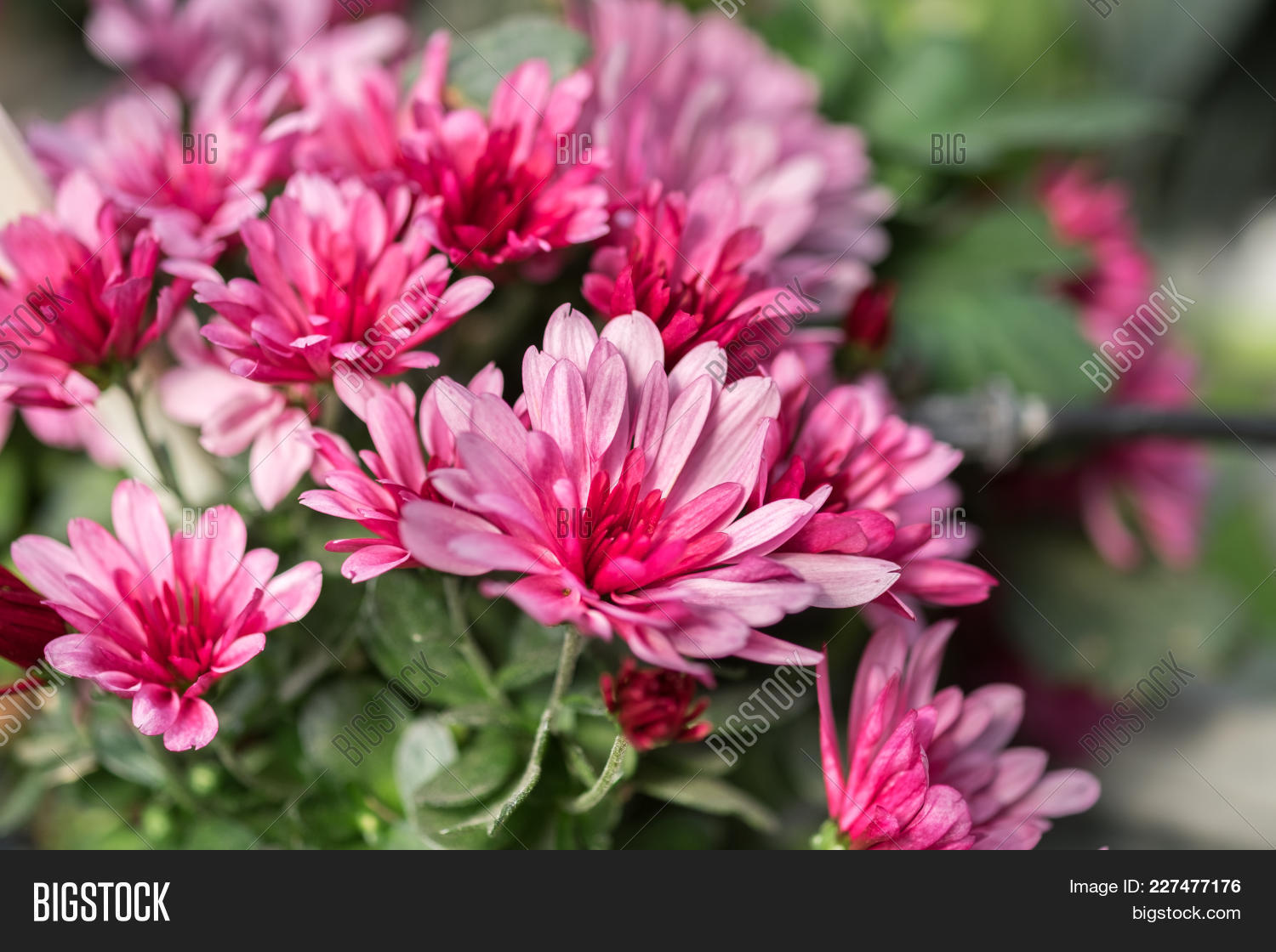 A Macro Shot Of The Pink Chrysanthemums Or Mums Or Chrysanths