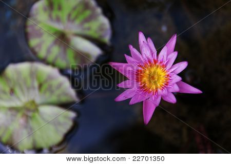 Pink Lotus bloom in the basin soil. stock photo