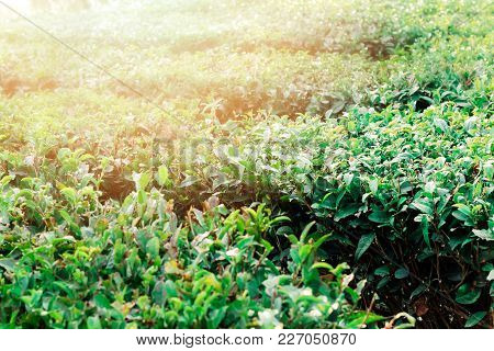tea bushes tea plantation in Matsesta ,Sochi, Russia stock photo