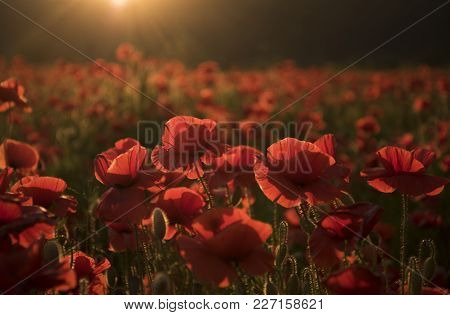 Flowers Red poppies blossom on wild field. Beautiful field red poppies with selective focus. Red poppies in soft light. Opium poppy. Natural drugs. stock photo