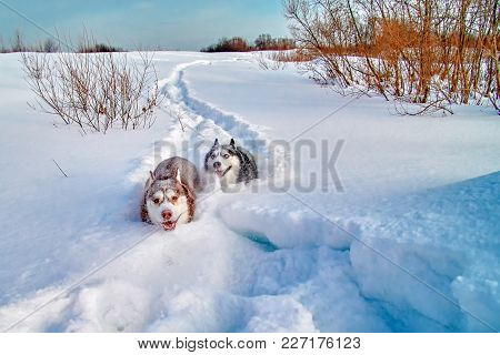 Walk with loved dogs. Siberian husky playing on winter walk. Husky dogs bite and push in snow. stock photo