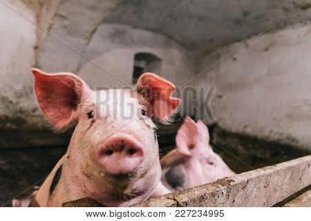 Beautiful portrait of a pink pig in a sty. The interior of a farm building. The pigs are ready for slaughter. stock photo