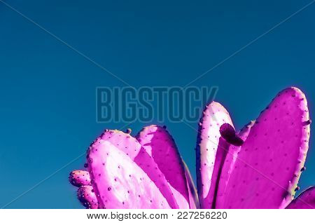 Creative Pink Prickly pear Cactus background and blue sky stock photo