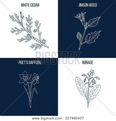 Vector collection of four hand drawn medicinal and eatable plants, white cedar, jimson weed, poet daffodil, borage stock photo