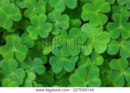 Green background with three-leaved shamrocks. St. Patrick's day holiday symbol.  Shallow DOF. Selec