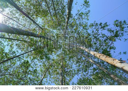 Tall trees rising skyward converging skyward with green leaves beyond tall tree-trunks. stock photo