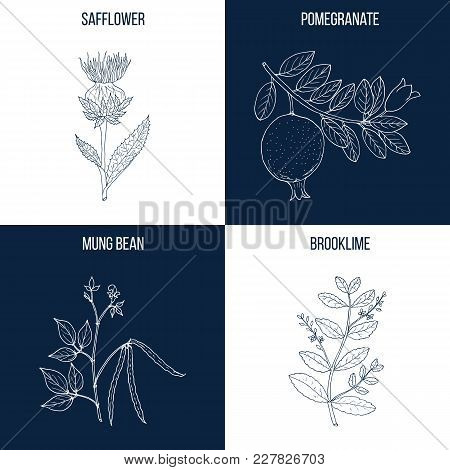 Vector collection of four hand drawn medicinal and eatable plants, safflower, pomegranate, mung bean, brooklime stock photo