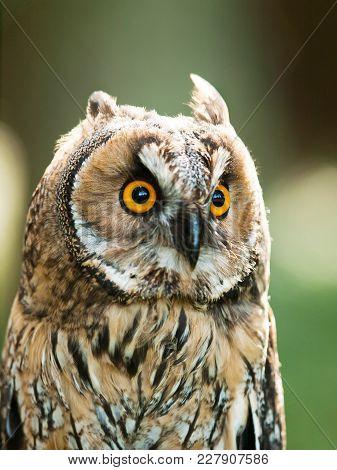 Portrait of Long-eared owl - Asio otus otus stock photo